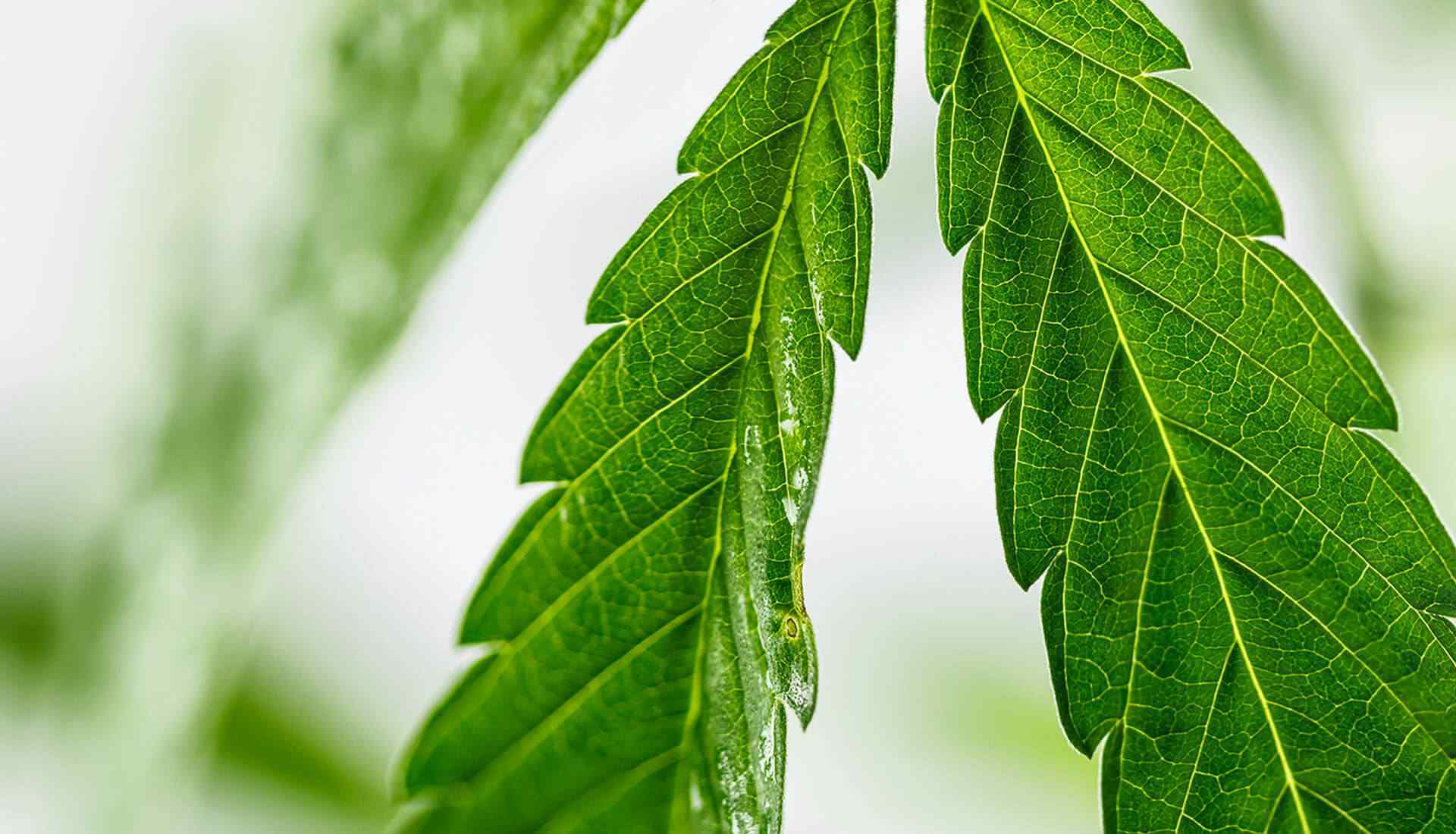 Close up of cannabis or hemp leaf