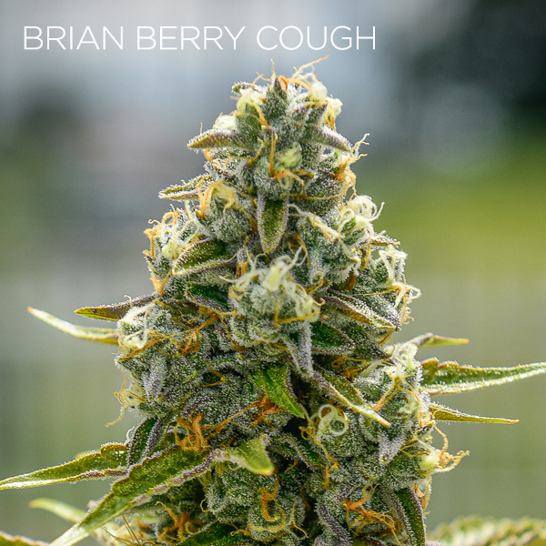 Brian Berry Cough Strain
