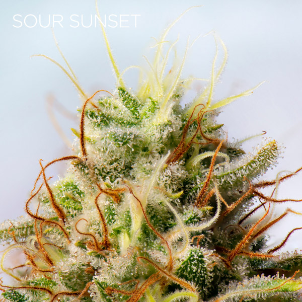 sour sunset strain