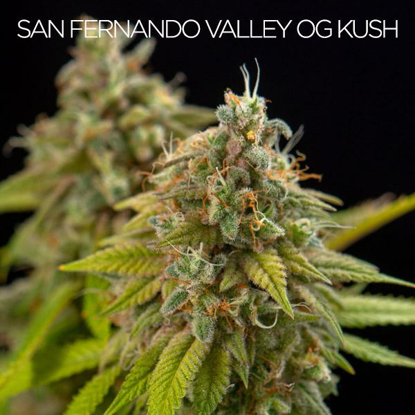 SAN Fernando valley og kush