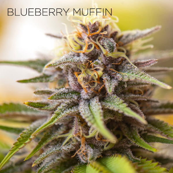 Blueberry Muffin Strain