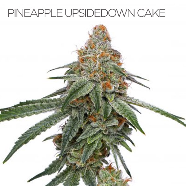 Pineapple Upside Down Cake strain